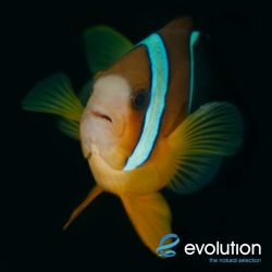 Evolution_Malapascua_Anemonefish