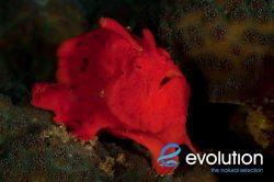 Evolution_Malapascua_Frogfish_1