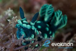 Evolution_Malapascua_Nudibranch_1