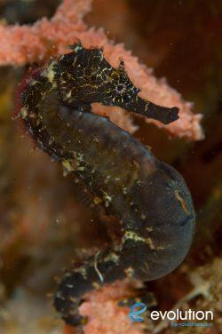 Evolution_Malapascua_Seahorse_1
