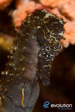 Evolution_Malapascua_Seahorse_2