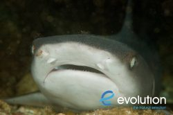Evolution_Malapascua_Whitetip_1