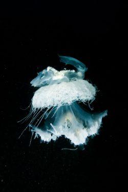 malapascua-marine-life-evolution-divers-malapascua-philippines-17