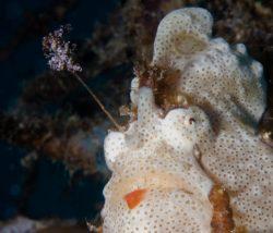 malapascua-marine-life-evolution-divers-malapascua-philippines-6