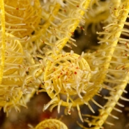 malapascua-marine-life-evolution-divers-malapascua-philippines-10