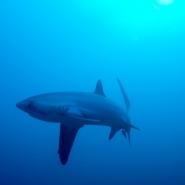malapascua-marine-life-evolution-divers-malapascua-philippines-25