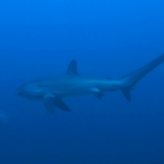malapascua-marine-life-evolution-divers-malapascua-philippines-26