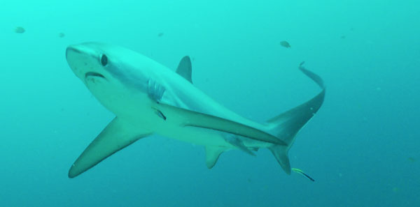 thresher sharks malapascua evolution divers philippines