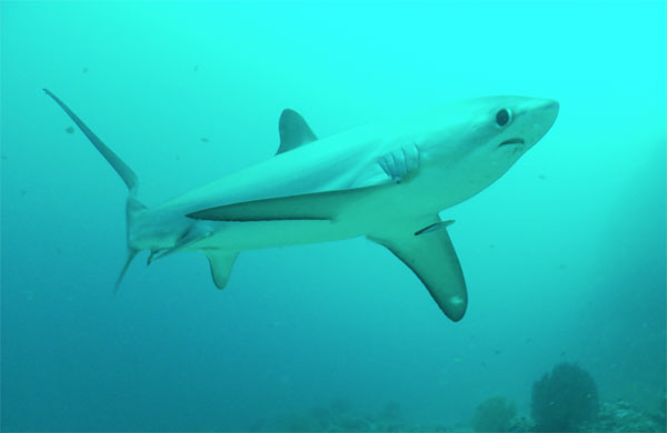malapascua thresher shark philippines