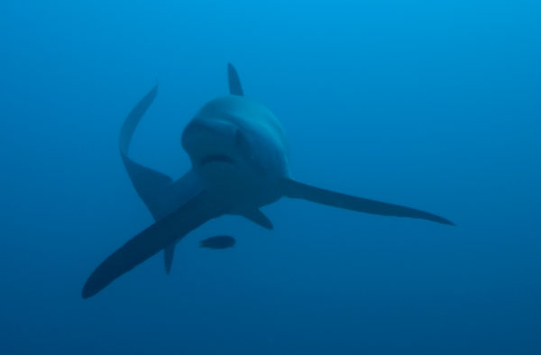 thresher shark malapascua evolution divers philippines