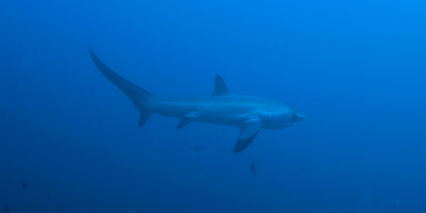 thresher shark malapascua diving