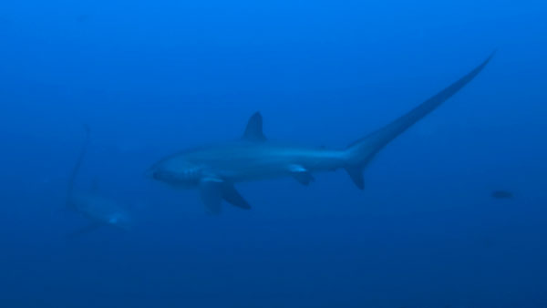 thresher sharks malapascua philippines evolution divers