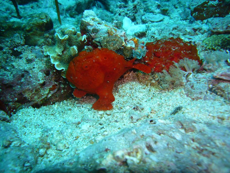 frogfish malapascua philippines