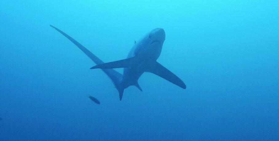 thresher sharks malapascua island philippines