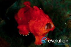 Evolution_Malapascua_Frogfish_2