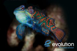 Evolution_Malapascua_Mandarinfish