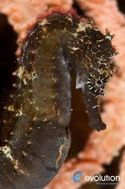Evolution_Malapascua_Seahorse_3
