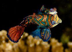 malapascua-marine-life-evolution-divers-malapascua-philippines-18