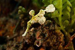 malapascua-marine-life-evolution-divers-malapascua-philippines-7