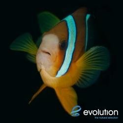 Evolution_Malapascua_Anemonefish