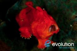 Evolution_Malapascua_Frogfish_2