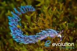 Evolution_Malapascua_Nudibranch_3
