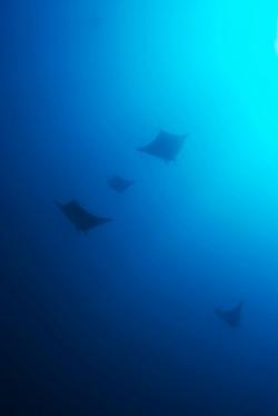 malapascua-marine-life-evolution-divers-malapascua-philippines-1
