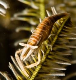 malapascua-marine-life-evolution-divers-malapascua-philippines-19