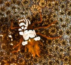 malapascua-marine-life-evolution-divers-malapascua-philippines-20