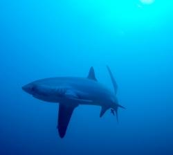 malapascua-marine-life-evolution-divers-malapascua-philippines-22