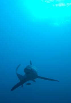 malapascua-marine-life-evolution-divers-malapascua-philippines-24