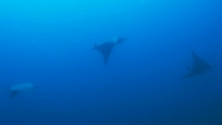 malapascua-marine-life-evolution-divers-malapascua-philippines-3