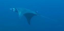 malapascua-marine-life-evolution-divers-malapascua-philippines-31