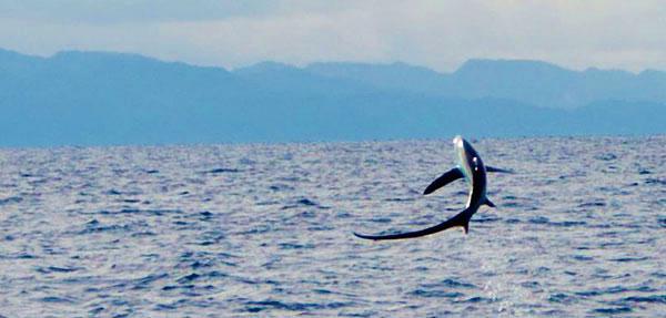breaching thresher shark malapascua philippines