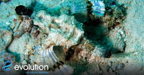 dragon sea moth creature feature evolution diving resort malapascua
