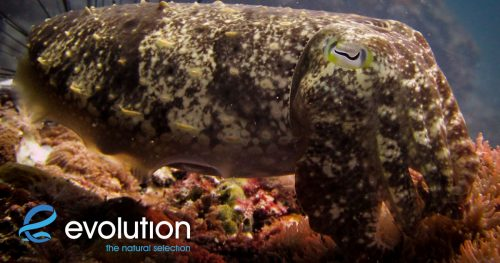 cephalapods malapascua philippines evolution diving