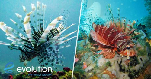 lionfish evolution diving resort malapascua