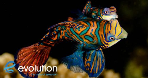 mandarin fish philippines evolution dive resort