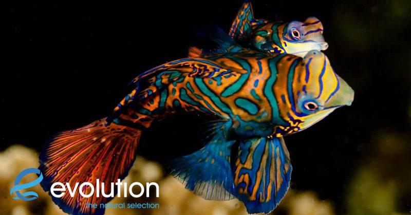 mandarin fish philippines evolution dive resort