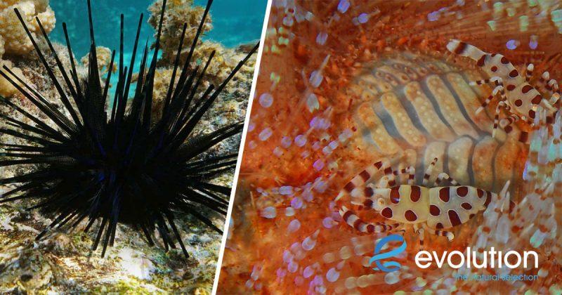 sea urchin malapascua philippines