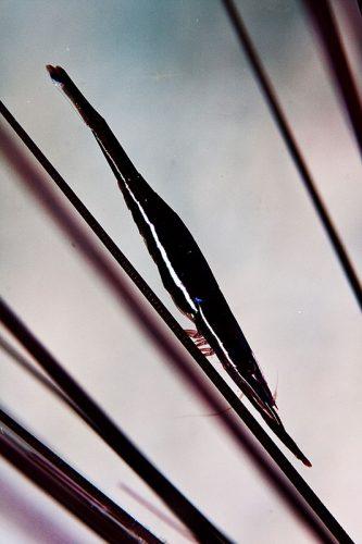 urchin commensal shrimp malapascua philippines