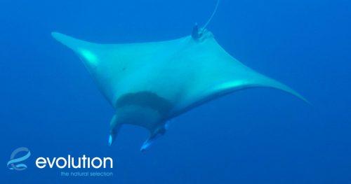 dive with devil ray malapascua philippines